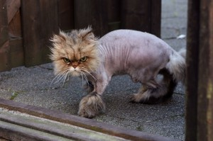 shaved cat southport